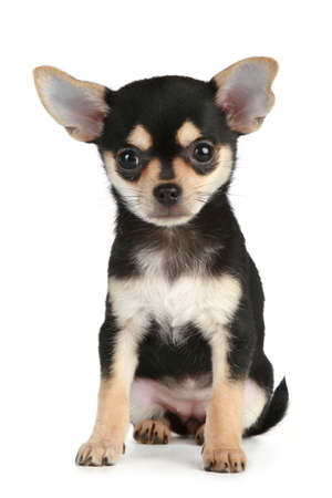 surprised dog: Funny puppy chihuahua sits on a white background