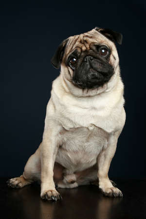 Pug puppy on a dark-blue background photo