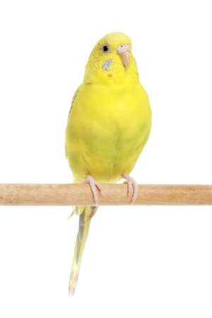 budgie: Budgie in front of a white background