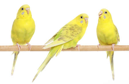 budgie: Three yellow budgie on branch. Isolated on a white background