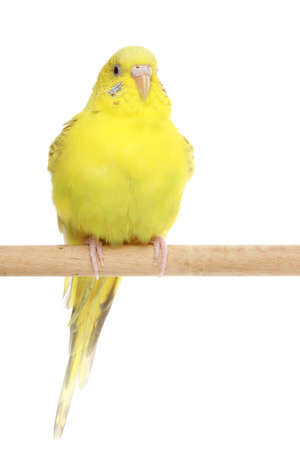 Yellow, the budgerigar sits on a branch, isolated on white background photo