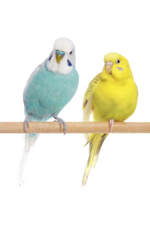 Blue and yellow budgerigars on a branch. Isolated on a white background