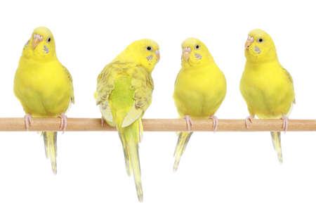 periquito: Cuatro periquito amarillo en rama. Aislado en el fondo blanco