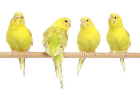 budgie: Four yellow budgie on branch. Isolated on white background