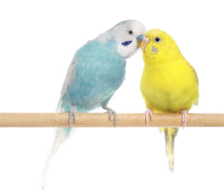 Pair of budgies, isolated on white background 스톡 콘텐츠