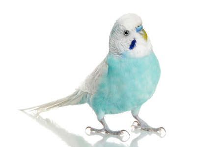 budgie: Blue Budgerigar on a white background  Stock Photo