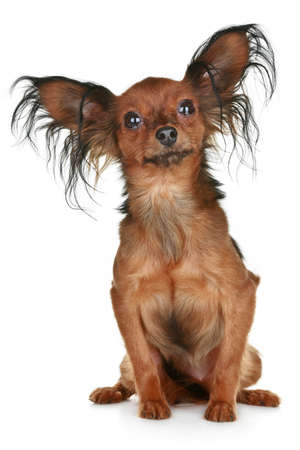 longhaired: Russian long-haired toy terrier breed dog on white background