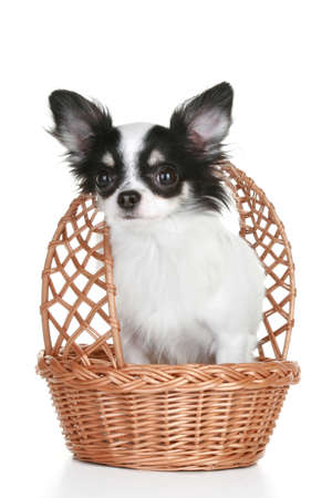 long haired: Long-haired chihuahua puppy in wattled basket on white background with reflection