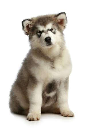 alaskian: Alaskan Malamute puppy (3 months) on white background