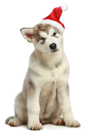 Malamute puppy in Christmas hat on a white background photo