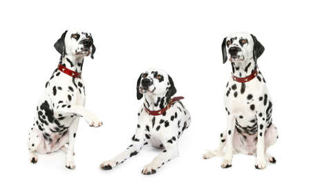 spotty: Three Dalmatian puppies. Isolated on a white background