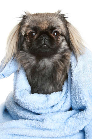 lapdog: Pekingese wrapped in blue towel. Portrai on a white background