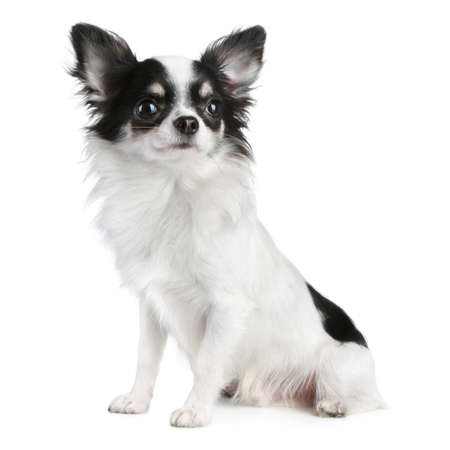 longhaired: Long-haired white chihuahua dog on a white background