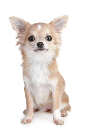 chihuahua: Light-brown chihuahua puppy sitting on a white background