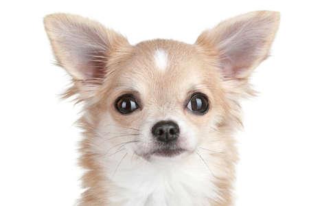 chiwawa: Chihuahua puppy close-up portrait on white background Stock Photo