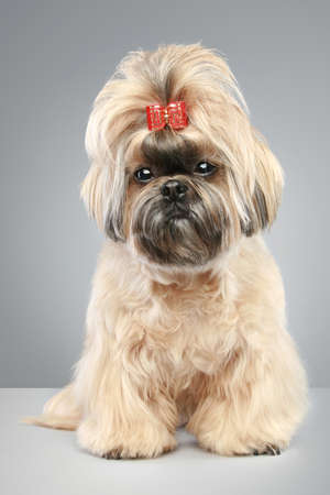 studioshoot: Shih tzu with a bow on a head sitting on a grey background