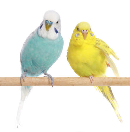 budgie: Blue and yellow budgerigars on a branch. Isolated on a white background