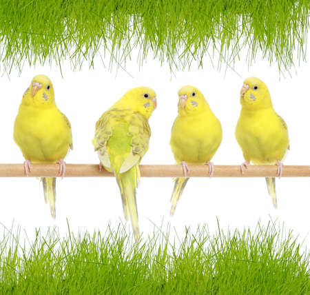budgie: Four yellow budgie on branch aganist green grass  Stock Photo