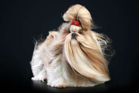 shihtzu: Shih tzu dog, glamour studio-shooting on dark background Stock Photo