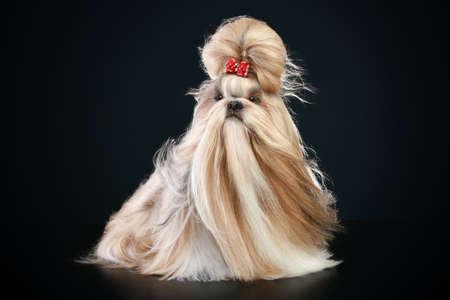 shihtzu: Dog of breed shih-tzu on a bark-blue background