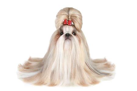 白い背景の上の犬種シーズーの犬