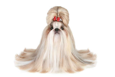 shihtzu: Dog of breed shih-tzu on white background Stock Photo