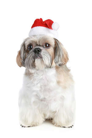 shihtzu: Dog of breed shih-tzu in Christmas hat on a white background