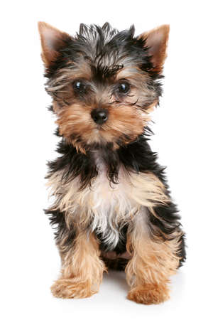 yorky: Yorkshire Terrier puppy  2 month  on white background Stock Photo