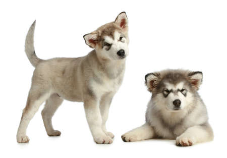 siberian: Two puppies malamute  3 months  pose on a white background Stock Photo