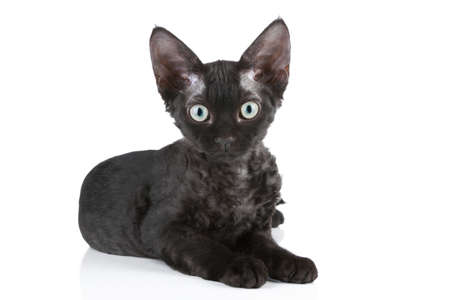 devon: Devon-Rex rare breed black cat lying on white background Stock Photo