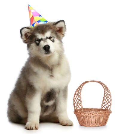alaskian: Alaskan malamute in party hat sits on a white background Stock Photo