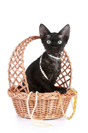 devon: Devon-rex cat portrait in wattled basket on a white background Stock Photo