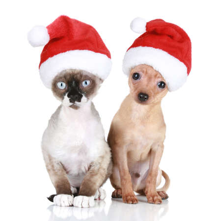 Funny Devon-rex cat and Toy-terrier in christmas hats on a white background  photo