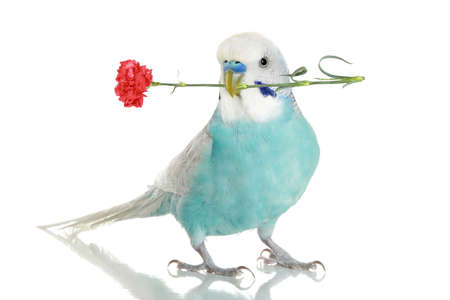 budgie: Blue budgie with a red carnation in a beak. isolated on white background with reflection