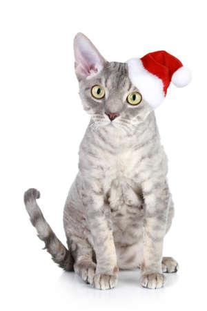 Devon Rex cat in xmas red hat on a white background photo