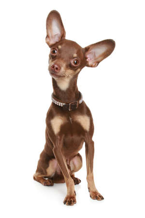 toy terrier: Russian toy terrier, isolated on a white background Stock Photo
