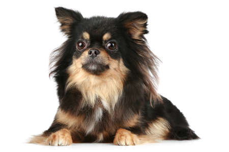 longhaired: Long-haired Chihuahua lies on a white background  Stock Photo
