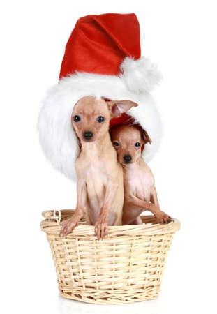 toy terrier: Due terrier toy russo con tappo di Natale in cesto su uno sfondo bianco