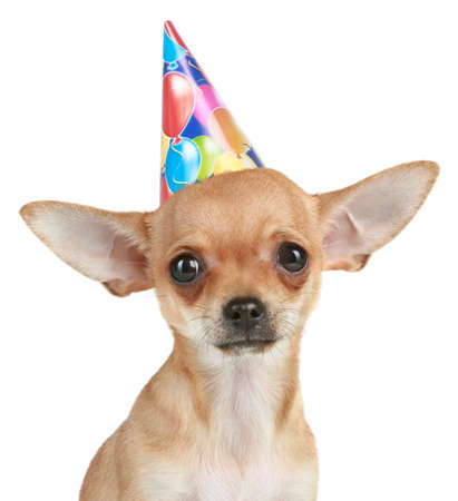 surprised dog: Chihuahua puppy in party hat on a white background
