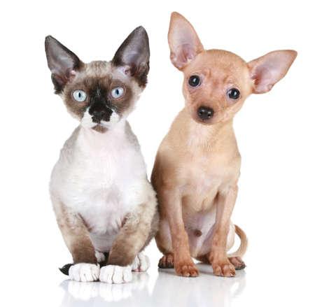 toy terrier: Toy cucciolo di terrier e Devon rex gatto su uno sfondo bianco Archivio Fotografico