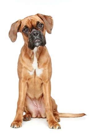 puta: Funny cachorro boxer puta se sienta en un fondo blanco Foto de archivo