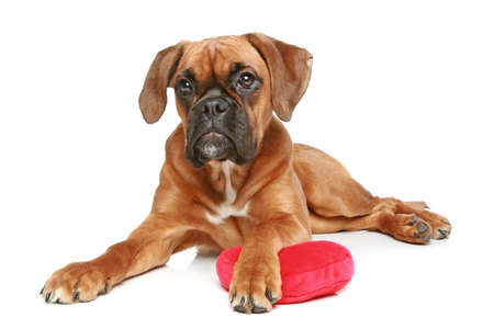 German Boxer puppy  5 month  with red heart lying on a white background photo