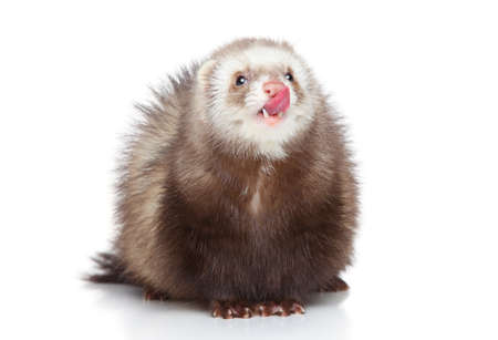 rare animals: Ferret licks his nose on a white background