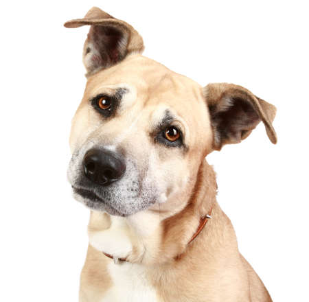 bul: American Staffordshire terrier in front of a white background