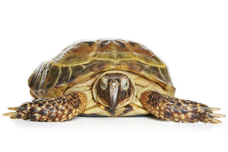 primal: Tortoise  on a white background