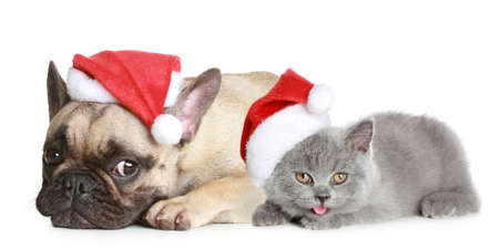 French bulldog and grey kitten in christmas hat lies on a white background photo