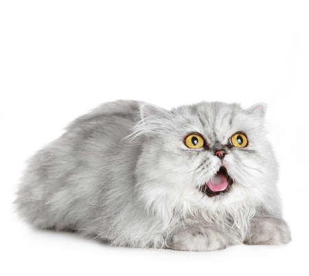 Surprised Siberian cat lies on a white background Standard-Bild