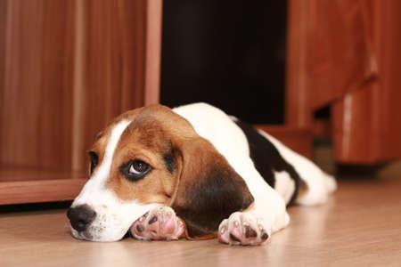 hunter playful: Beagle puppy (2 months) Stock Photo