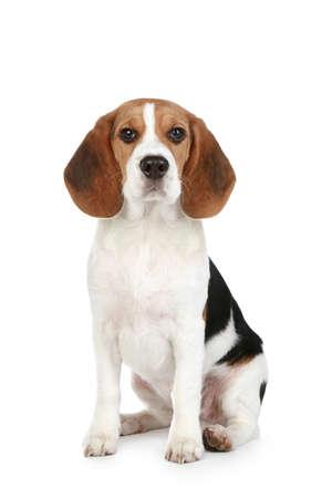 白い背景の上に座っているビーグル子犬