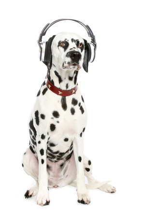 Dalmatian dog enjoy music on a white background photo